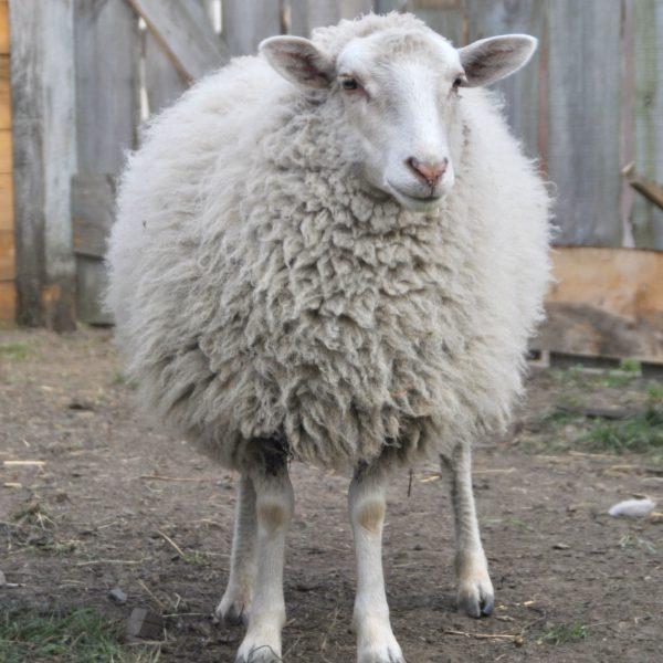 Owieczka Tosia - podopieczna Karoliny Fligiel